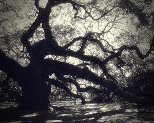 Old live oak trees