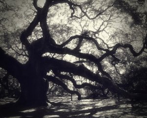 Old live oak trees