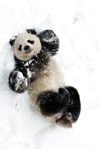 panda bear playing in the snow