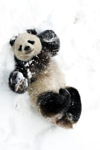 panda bear playing in the snow