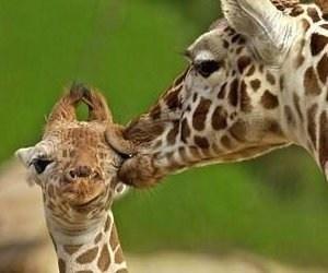 smooch-baby-giraffe