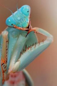 Blue Orchid Mantis (Hymenopus coronatus) Strike a pose! Ha,ha!