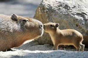 Sweet Capybaras