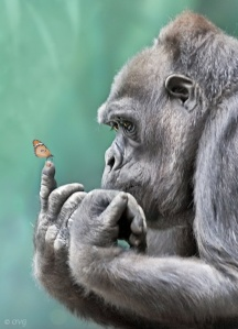 Gorilla admiring the beauty of a butterfly.