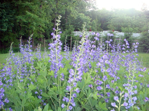 baptisia_jacob's ladder
