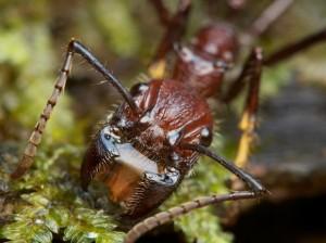 bullet ants-pain-vashti-quiroz-vega-blog