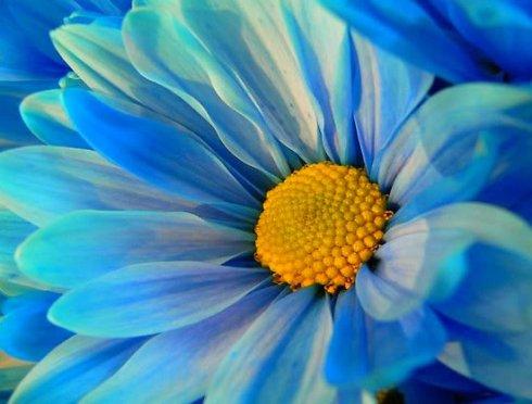 blue-daisy