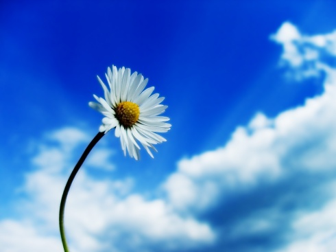 daisy-blue-white-flower