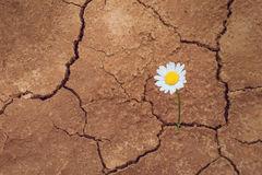 daisy-flower-desert-dry-land-44033598