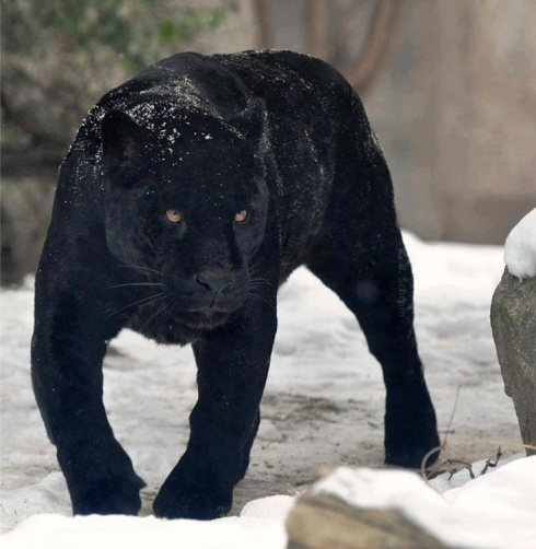 black-panther-snow-haiku-friday
