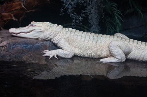 white-crocodile-haiku-friday