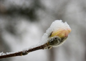royal-star-magnolia-bud-in-snow
