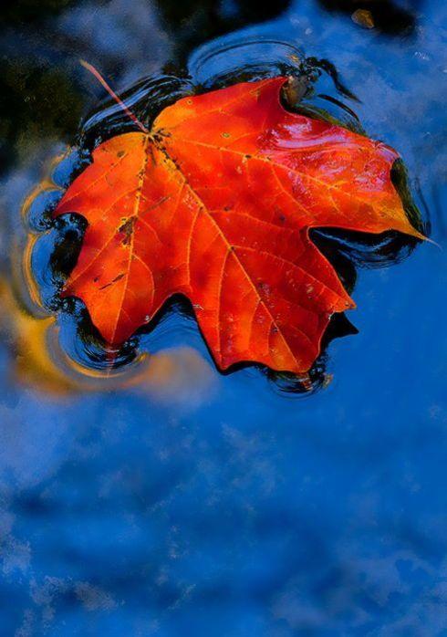 Haiku Friday-The Writer Next Door-Vashti Q-Maple-leaf