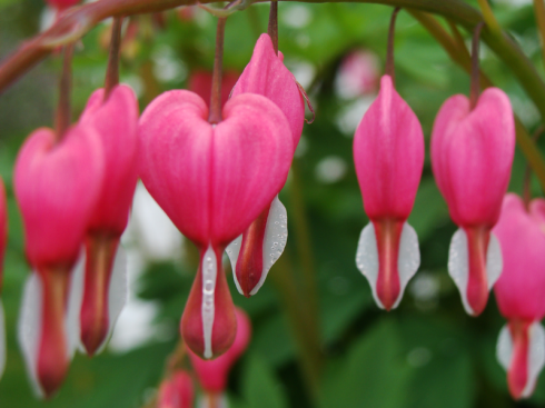 bleeding-heart-haiku-friday-The Writer Next Door-Vashti Q-Poetry