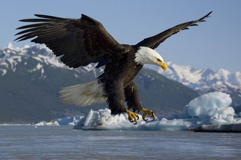 bald eagle-national endangered species day-the writer next door-Vashti Q-Poetry-Haiku_Friday