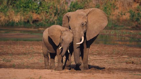 National Endangered Species Day-elephants-The Writer Next Door-Vashti Q-Poetry-Haiku_Friday-Africa
