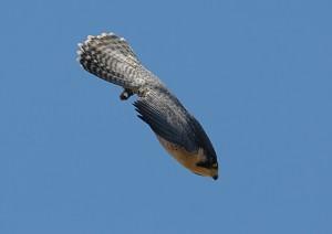 The Writer Next Door-Vashti Q-Haiku_Friday-Poetry-haiku-falcon