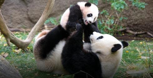 Giant_panda-National Endangered Species Day-The Writer Next Door-Vashti Q-Poetry-haiku-Friday