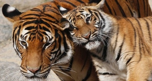 tigers-national endangered species day-the writer next door-Vashti Q-Poetry-Haiku_Friday