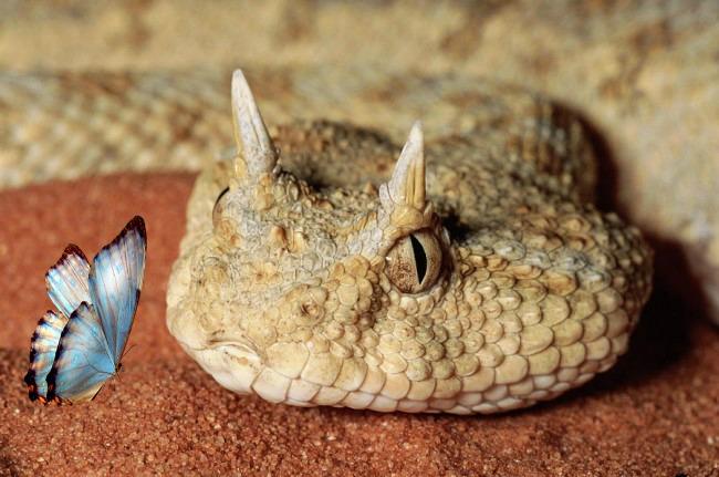 horned_viper-snake-butterfly-Tanka Tuesday-Poetry-cinquain-poem-Vashti Quiroz Vega-Vashti Q
