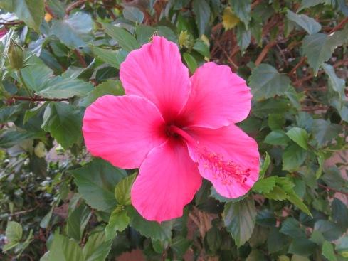 Hibisbus-poem-flower-Miriam Hurdle-blog tour-new release-Vashti Quiroz Vega-The WriterNext Door-Vashti Q