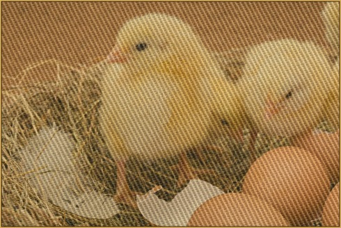 Baby_chickens-Poetry_Friday-springtime-Vashti Q-the writer next door-vashti quiroz vega